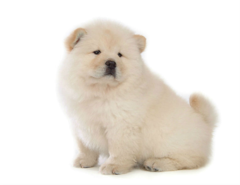 chow chow chow chow picture slideshow