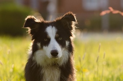 border-collie_